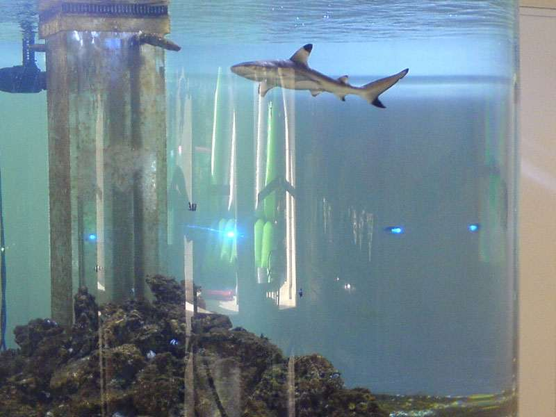 Blacktip Shark Aquarium Manufactured