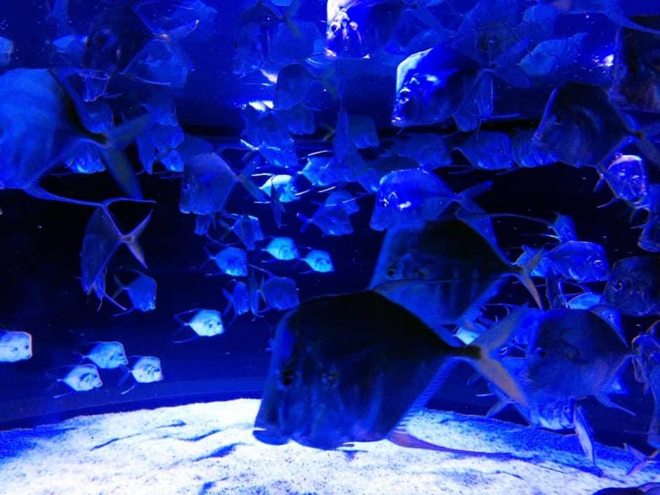 Selene Vomer - Lookdowns Aquarium